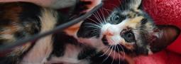 給小玳瑁貓一個機會好嗎?【已有家】