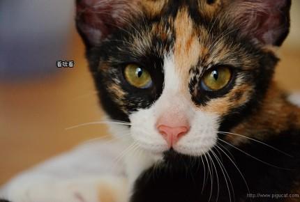 玳瑁貓一點也不可愛不溫柔!